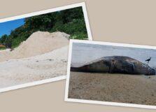 Filhote de jubarte é achado morto em praia de Trancoso